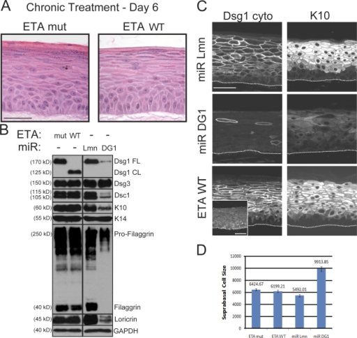 N-terminal ectodomain residues of Dsg1 required for adhesion are not essential for epidermal raft development. (A) H&E analysis of raft cultures treated with WT ETA (ETA WT) or a protease-dead mutant (ETA mut) and maintained at an air–liquid interface for an additional 6 d. Chronic Dsg1 EC1–3 cleavage did not grossly alter suprabasal morphogenesis. (B) Western blot analysis revealed a reduction in Dsc1, K10, filaggrin, and loricrin in raft cultures deficient in Dsg1 (miR DG1) compared with miR Lmn controls. In contrast, there were no differences in the levels of these suprabasal proteins in rafts treated with ETA WT or mut. Levels of Dsg3 and the basal marker K14 were equivalent in all conditions. Black lines indicate that intervening lanes have been spliced out. CL, cleaved; FL, full length; GAPDH, glyceraldehyde-3-phosphate dehydrogenase. (C) IHC staining confirmed that both K10 and Dsc1 (Figs. S1 and S4) were reduced in Dsg1-silenced cultures (miR DG1), whereas control (miR Lmn) and ETA-treated (ETA WT) cultures robustly expressed these suprabasal markers. Also, note that ETA-treated cultures retained a cleaved fragment (aa 382–1,049) of Dsg1 at intercellular borders, as revealed by staining with an antibody against the cytoplasmic domain of Dsg1 (Dsg1 cyto), whereas the extracellular epitope (aa 1–381) was effectively removed by ETA (inset). The dotted lines indicate the boundary between keratinocytes and the collagen matrix. (D) The mean surface area (±SEM) of individual suprabasal cells from ETA-treated or Dsg1 knockdown rafts was determined using actin immunostaining to outline the cell cortex. Although control and ETA-treated cultures exhibited suprabasal cells of similar size, cultures lacking Dsg1 possessed suprabasal cells that were nearly twice as large. Bars, 50 µm.