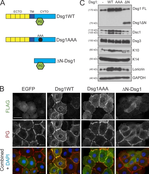 Dsg1 promotes differentiation in the absence of robust PG binding. (A) To test which domains of Dsg1 would be sufficient to drive differentiation, we generated three Flag-tagged Dsg1 cDNA constructs: WT Dsg1 (Dsg1WT), a triple point mutant harboring three Ala substitutions (Dsg1AAA) within the predicted binding region for PG, or a truncation mutant lacking the ectodomain (ECTO) and transmembrane (TM) region (ΔN-Dsg1). CYTO, cytoplasmic domain. (B) The subcellular localization of Dsg1WT, Dsg1AAA, or ΔN-Dsg1 was determined in keratinocytes immunostained using a rabbit polyclonal antibody directed against Flag and a chicken polyclonal antibody against PG after exposing cells to high Ca2+ for 4 h to induce junction assembly. Both Dsg1WT and Dsg1AAA were efficiently recruited to areas of cell–cell contact; however, ΔN-Dsg1 was diffusely distributed throughout the cytoplasm. PG staining highlighted the intercellular borders; its localization at junctions was largely unaffected by any of the Dsg1 constructs. (C) Western blot analysis of keratinocytes transduced with these Dsg1 constructs and induced to differentiate for 2 d as submerged cultures. Although Dsg1WT and Dsg1AAA were sufficient to increase Dsc1/K10/loricrin, ΔN-Dsg1 did not affect these markers of differentiation compared with EGFP-transduced (Dsg1−) control cultures. FL, full length; GAPDH, glyceraldehyde-3-phosphate dehydrogenase. Bar, 20 µm.
