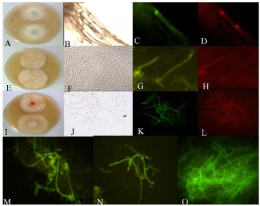 Agrobacterium mediated in-vitro gene transfer as measured through UV-florescence using different excitation filters (BP460-490) and their hygromycin selection. (A). Ganoderma sp. RCKK-02; (E). Crinipellis sp. RCK-1; (I). P. cinnabarinus (M). P. sojur-caju; (N). P. chrysosporium; (O). Fungal isolate BHR-UDSC. (B,F,J) Images under Bright field; (C, D, G, H, K, L) GFP-tagged mycelia using different excitation filters (BP460-490) and barrier filter BA520IF.