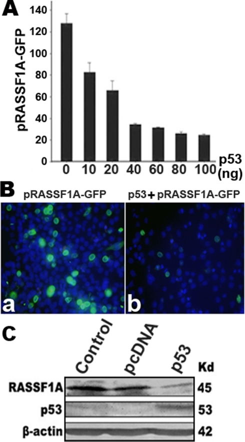 Down-regulation of RASSF1A by p53.A, RASSF1A promoter activity was inhibited by p53 protein with a dose dependent manner. pRASSF1A-GFP (construction c in Fig. 1) was co-transfected with different concentration of CMV-p53 into COS-7 cells, and transfected cells were analyzed by the flow cytometry. B, pRASSF1A-GFP was transfected into COS-7 cells (a) or co-transfected with p53 (b), and images were taken under fluorescent microscopy. p53 remarkably decreased expression of RASSF1A-GFP. GFP was mainly expressed in the cytoplasm. Nuclei were stained with Hoechst. C, Overexpression of p53 in Siha cells decreased RASSF1A protein levels, revealed by Western blot analysis of RASSF1A and p53 expression using anti-RASSF1A or p53 antibody after transfection of the p53 expression plasmid into Siha cells. Lysates of non-transfected cells and cells transfected with the pcDNA3 vector were used as controls. β-actin was used as an internal control. Molecular weights of the proteins are shown on the right.