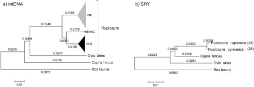Comparison of mitochondrial DNA and SRY-promoter phylogenies on chamois. Neighbor-Joining trees under Jukes-Cantor showing the relationships among chamois and the outgroups Ovis aries, Capra hircus and Bos taurus. a) Tree constructed with a combined sequence of 1708 nucleotides of mtDNA [17]. Sequences in clades mtW, Clade mtC and Clade mtE, in black, grey and white respectively, were collapsed. b) Tree constructed with a sequence of 531 nucleotides of the SRY promoter. For both trees the number of individuals in the external branches is indicated in parentheses.