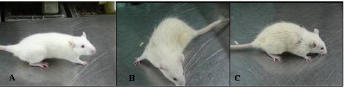 Body hair in the three rats groups. At 10 weeks of age, pictures were taken of the 3 groups. A:control group; B:andronate group; C:andronate with HFD group.