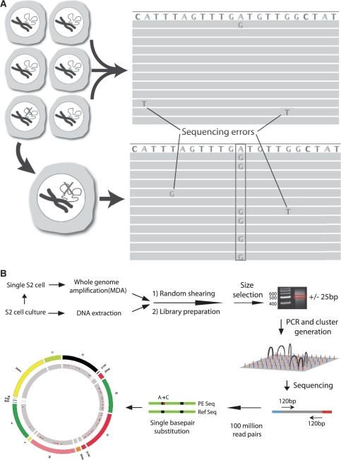 Somatic mutation detection using single cell sequencing. (A) Somatic mutations in tissues are rare and therefore found only in single sequencing reads from which they are routinely filtered out as sequencing errors during post-alignment processing. Adopting a single cell approach overcomes this limitation by transforming each somatic event into a consensus variant call. (B) Schematic depiction of the single cell sequencing protocol used for Drosophila S2 cells.
