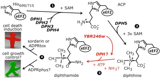 The biosynthetic pathway for modification of eEF2 by diphthamide.For roles played by the bona fide diphthamide genes DPH1–DPH5 in steps 1 and 2 of the pathway, see main text. The ill-defined step 3, conversion of diphthine to diphthamide by amidation, is highlighted (red label). It likely involves ATP and ammonium cofactors in a reaction catalyzed by unidentified DPH gene product(s). Step 4 indicates diphthamide can be hijacked for eEF2 inactivation and cell death induction by antifungals, i.e. sordarin and bacterial ADP ribosylase toxins (ADPRtox); alternatively, it has been reported to undergo cell growth related physiological ADP ribosylation (ADPRphys?) by elusive cellular modifier(s). ACP, 2-[3-amino-carboxyl-propyl]-histidine; SAM: S-adenosylmethionine.