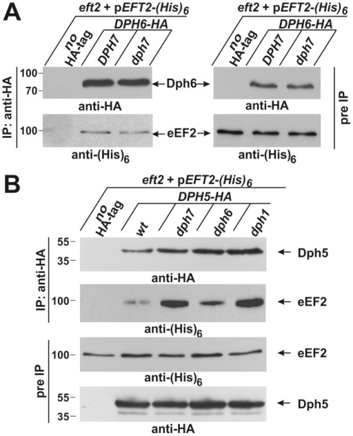 Co-immune precipitations reveal eEF2 interactions with Dph6 and Dph5.(A) eEF2 interacts with Dph6 in a fashion that is independent of Dph7. (B) eEF2 interaction with Dph5 is dramatically enhanced by elimination of Dph7 or Dph1. Yeast strains co-expressing (His)6-tagged eEF2 with Dph6-HA (A) or Dph5-HA (B) in the background of wild-type (A: DPH7 and B: wt) and dph mutant strains (A: dph7; B: dph1, dph6 and dph7) were subjected to immune precipitations (IP) using the anti-HA antibody. Strains expressing (His)6-tagged eEF2 on their own served as IP controls (A and B: no HA-tag). Subsequently, the precipitates were probed with anti-HA (A: top left panel; B: first panel) and anti-(His)6 antibodies (A: bottom left panel) to check for the content of Dph6-HA (A) and Dph5-HA (B), respectively (all indicated by arrows). The content of HA-tagged Dph6 (A) and Dph5 (B) as well as (His)6-marked eEF2 (A and B) in the protein extracts prior to IP (pre-IP) was examined on individual Western blots using anti-HA (A: top right panel; B: fourth panel) and anti-(His)6 antibodies (A: bottom right panel; B: third panel), respectively. While absence of Dph7 hardly affected the Dph6•eEF2 interaction (A), Dph5•eEF2 interaction was strongly enhanced by inactivating DPH7 or DPH1 (B).
