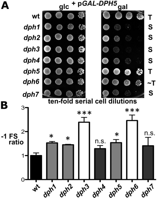 dph mutants show sensitivity to elevated diphthine synthase levels and confer reduced translational accuracy.(A) DPH5 overexpression in dph1-dph4 and dph7 mutants causes cytotoxicity and a severe cell growth defect. Cells of yeast strains with the indicated genetic backgrounds and maintaining plasmid pGAL-DPH5 for galactose inducible overexpression of diphthine synthase Dph5 were serially diluted and replica spotted onto glucose (2% glc) and galactose (2% gal) media to assay their response to DPH5 overexpression. Growth was for 3 days at 30°C. Unaltered (T), slightly weakened tolerance (∼T) and sensitive (S) responses are indicated. Note that dph1-dph4 and dph7 mutants are extremely sensitive to DPH5 overexpression. (B) Ribosomal frameshift analysis reveals erroneous translation in dph1-dph7 mutants. Strains with the indicated genetic backgrounds were transformed with control (pJD240.0) or lacZ −1 frameshift (pJD240.−1) plasmids [59] to monitor lacZ expression through β-galactosidase (β-Gal) production using O-nitrophenol-D- galactopyranoside assays and to score translation efficiency (pJD240.0) and fidelity (pJD240.−1). Ribosomal −1 frameshifts are expressed relative to the level of overall translation efficiency with statistical significance determined by one-way ANOVA followed by Dunnett's multiple comparison. With the exception of dph4 and dph7, post-hoc comparison found that all other mutant backgrounds showed a significant increase in ribosomal −1 frameshifting relative to wild-type (wt) yeast cells (* = P<0.05; *** = P<0.001; ns. = not significant).
