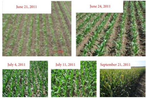 Corn canopy in different growth stages.
