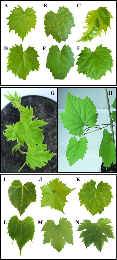 Systemic GALV-Nf symptoms in grapevine plants. GALV-Nf symptoms induced 5 weeks after infiltration with the GALV-Nf-based binary vector in different cultivars regenerated from somatic embryos: V. vinifera(A) Brachetto, (B) Syrah, (C) Nebbiolo compared to corresponding healthy plants (D, E, F). Severe stunting and leaf alterations observed on a Nebbiolo plant (G) 5 weeks after infiltration with the GALV-Nf-based binary vector compared to a corresponding healthy plant (H). GALV-Nf symptoms induced 5 weeks after infiltration with the GALV-Nf-based binary vector on different grapevine genotypes: (I)V. riparia cv. Gloire de Montpellier; V. vinifera(J) Sultana, (K) Corvina, compared to corresponding GALV-free plants (L, M, N).