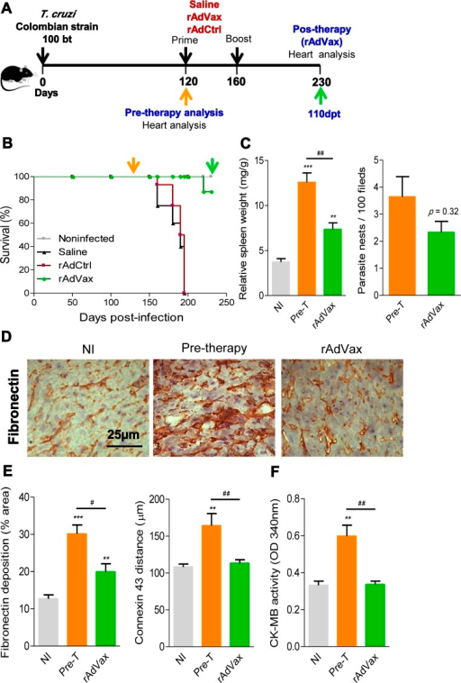 rAdVax immunotherapy recovered the injured heart tissue of chronically T. cruzi-infected mice.(A) Chronically Colombian T. cruzi strain-infected mice were evaluated for heart injury markers pre-therapy (120 dpi) or primed-boosted with 2 × 108 plaque-forming units (PFU) of rAdCtrl or a mixture of 108 PFU of each adenovirus vaccine preparation (rAdASP2+rAdTS; rAdVax). Mortality was recorded until 230 dpi (110 days post-therapy; dpt), when the surviving mice were analyzed for heart injury markers. (B) Kaplan-Meier curve representing the percentages of surviving mice (14–20 mice/group in two independent experiments). (C) Relative spleen weight (mg of spleen/g of body) and quantitative immunohistochemical staining (IHS) data for T. cruzi parasitism (nests/100 microscopic fields) in the heart tissue of chronically infected mice (120 and 230 dpi, respectively, pre- and post-therapy). (D) IHS showing fibronectin (FN)-stained areas in representative cardiac tissue sections of noninfected (NI) controls and chronically T. cruzi-infected mice pre- (120 dpi) and post-therapy (230 dpi; 110 dpt) with rAdVax. (E) Quantification of the FN-stained area (%) and connexin 43 (Cx43)-containing gap junction distances detected using IHS staining of heart tissue sections of NI controls or T. cruzi-infected mice pre- and post-therapy with rAdVax. (F) Evaluation of CK-MB activity in the serum of NI controls and T. cruzi-infected mice pre- and post-therapy with rAdVax. The data are presented as the means ± SD. ** P <0.01 and ***P <0.001, experimental groups compared with NI controls. #P <0.05 and ##P <0.01, rAdVax-immunized compared with pre-therapy T. cruzi-infected mice.