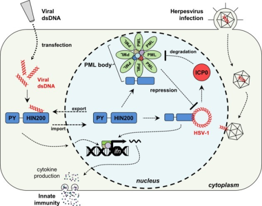 Model for IFIX-mediated intrinsic and innate immune functionsIFIX functions as a previously unrecognized viral DNA sensor. IFIX binds viral DNA in the cytoplasm through its HIN200 domain. This initiates innate immunity via induction of interferon-β expression. During HSV-1 infection, IFIX recognizes and binds viral DNA within the nucleus. This IFIX function may be mediated by its association with sub-nuclear PML bodies. To inhibit PML body-mediated intrinsic defenses, HSV-1 E3 ubiquitin ligase ICP0 is known to target PML for its proteasome-dependent degradation, dispersing PML bodies and relieving the imposed repression.