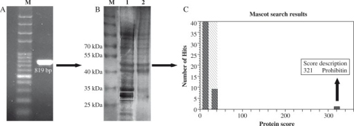 Expression of prohibitin. A) PCR of the prohibitin gene. Agarose gels showing the amplified 819-bp fragment. B) Sodium dodecyl sulphate-poly-acrylamide gel electrophoresis (SDS-PAGE) analysis of prohibitin protein. M, protein marker; lane 1, cell extracts of pET-28a(+)-prohibitin/BL21 after isopropyl-β-D-thiogalactopyranoside (IPTG) induction for 6 h at 37°C; lane 2, cell extracts of pET28a (+)/BL21 after IPTG induction. C) Prohibitin was identified by mass spectrometry
