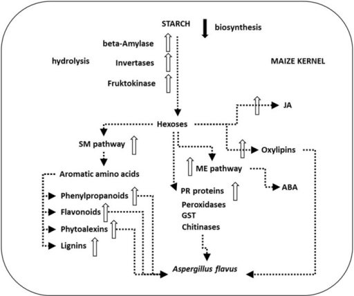 Schematic presentation of main plant defense processes in Aspergillus flavus-maize interactions. A. flavus can attack kernels during all the six stages of their development. However, infection in non-injured kernels takes place later in the field, during the dent (R5) developmental stage just prior to physiological maturity (R6) (Marsh and Payne, 1984). As soon as 4 days after inoculation A. flavus mycelium reaches the aleurone, endosperm and germ tissue (Dolezal et al., 2013). Transcriptional analysis of the maize—A. flavus pathogen interaction revealed down-regulated (black arrow) starch biosynthesis and up-regulated genes (white arrows) of plant starch hydrolytic enzymes like β-amylase as well as downstream invertases and fructokinase. The produced hexoses flow through the up-regulated shikimate (SM) pathway, the methylerithryole (ME) pathway and toward up-regulated jasmonic acid (JA) and oxylipin biosynthesis, and feed pathogenesis related (PR) protein synthesis, e.g., peroxidases, glutathione S-transferase (GST) or chitinases that were also found up-regulated during infection. Oxylipins up-regulate aflatoxin (AF) biosynthesis and sexual reproduction in A. flavus and down-regulate fungal growth. Up-regulation of the SM pathway leads to the production of antifungal compounds flavonoids, phenylpropanoids, phytoalexins, and up-regulated lignin production in maize. Up-regulated plant hormone JA and abscisic acid (ABA) production is crucial in these defense mechanisms (Dolezal et al., 2014).