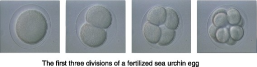 The first three divisions of a fertilized sea urchin egg
