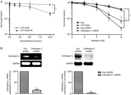 Effect of cathepsin L suppression on the response of glioma cells to irradiation. (A) Survival curves from the clonogenic assays of U251 cells. Cells were treated with Z-FY-CHO at 0, 1.25, 2.5, 5, and 10 μmol/L for 12 h, the cells were then treated with 4 Gy irradiation (or unirradiated) (left). Cells were treated with Z-FY-CHO at 10 μmol/L, stably transfected cell clones were designated Con shRNA and cathepsin L shRNA, the cells were then irradiated with 2, 4, 6, or 8 Gy (right). (B) RT-PCR and Western blot analyses were performed to determine the expression levels of cathepsin L in U251 cells that were transfected with cathepsin L shRNA or Con shRNA. Mean±SD. n=3. bP<0.05, cP<0.01 compared with the control group. fP<0.01 compared with the IR group.