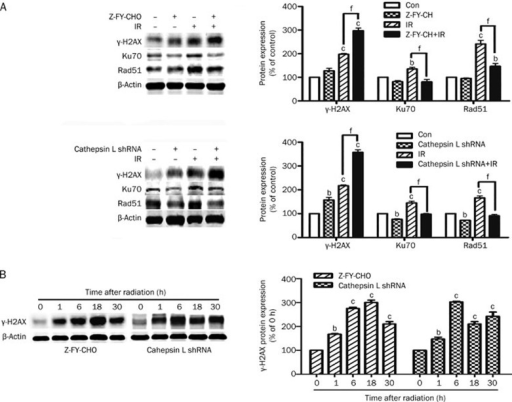 Effect of cathepsin L suppression on irradiation-induced expression of r-H2AX, Ku70, and Rad51 in U251 cells. The cells were pretreated with Z-FY-CHO or transfected with Con shRNA or cathepsin L shRNA, and then the cells were treated with 8 Gy of IR (or unirradiated), and harvested for Western blot analysis of γ-H2AX, Ku70, and Rad51 protein levels at 6 h post-IR (A) and for Western blot analysis of γ-H2AX at the indicated time after IR(B). Mean±SD. n=3. bP<0.05, cP<0.01 compared with the control group. eP<0.05, fP<0.01 compared with the IR group.
