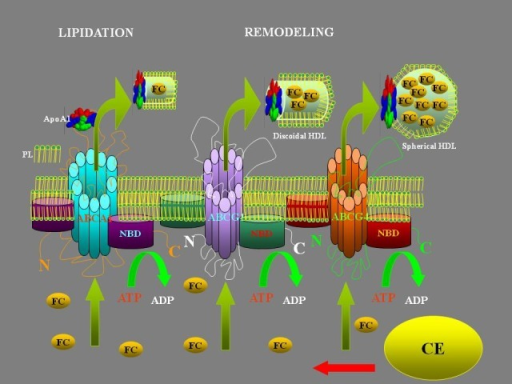 HDL formation: HDL particles start out as apolipoproteins produced by the liver, called apoAI. Precursor molecules are released in HDL called pre-B-HDL, incorporating small quantities of cholesterol and lipids, especially phospholipids (PL). ABC proteins (ATP-Binging Cassette Transports) transport various molecules across extra- and intra-cellular membranes. Cholesterol from non-hepatic peripheral tissues is transferred to HDL by the ABCA1. ABCG1 and ABCG4 are necessary for the further lipidation. These receptors are required for spherical particles HDL formation. The free cholesterol (FC) is converted to cholesteryl esters (CE) by the enzyme LCAT (lecithin-cholesterol acyltransferase).