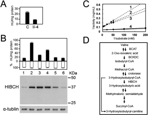 Residual activity and western blot of HIBCH mutants. (A) HIBCH activity in lymphoblastoid cells from patient II-4 and 3 controls (1 U = 1 μmol/min). (B) The black columns indicate mean HIBCH activity, the white columns indicate relative β-gal activity, and vertical bars indicate standard error of the mean (n = 3). Western blot analysis of HEK293 cells transfected with each of the HIBCH-expressing vectors, using antibodies specific for HIBCH (upper panel) or α-tubulin (lower panel). Lane 1, p3 × FLAG; lane 2, wild type; lane 3, p.A96D; lane 4, p.Y122C; lane 5, p.G317E; lane 6, p.K74Lfs*13. (C) Lineweaver–Burk plot. Triplicate measurement of Km of p.A96D HIBCH (No. 1–3) in patient II-4's lymphoblastoid cells gave the following results: 27.7 μM, 17.1 μM, and 15.5 μM (mean ± SD; 20.1 ± 6.6 μM). The Km of HIBCH from 3 control lymphoblastoid cells was obtained as 3.7 ± 0.7 μM (No. 4). (D) Schematic illustration of the valine catabolic pathway.