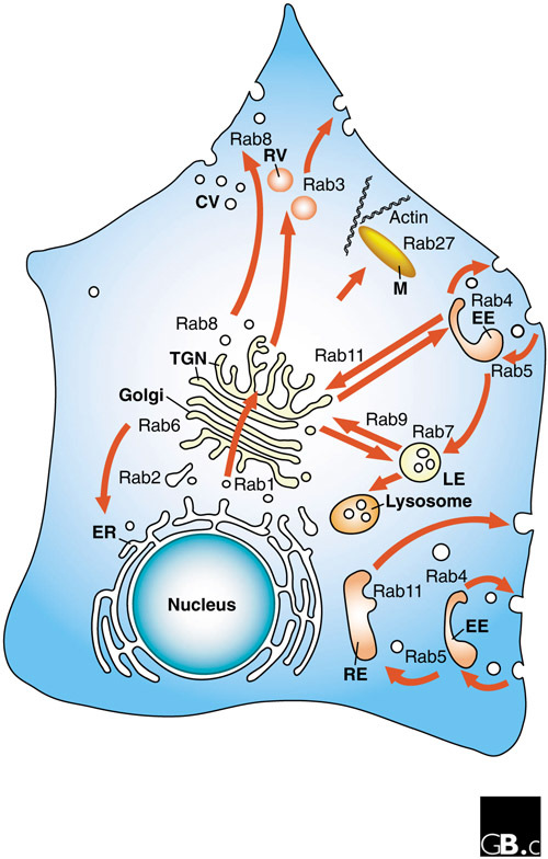Intracellular vesicle transport pathways and localizati ...