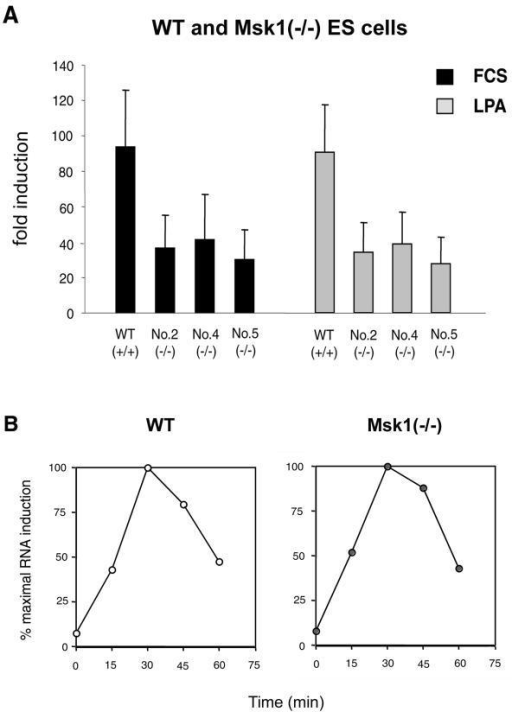 Induction of c-fos in WT and Msk1(-/-) ES cells. A – WT ES cells and three different Msk1(-/-) ES cell lines (No. 2, No. 4 and No. 5) were serum-starved for 24 h and stimulated with 15% FCS or 20 μM LPA for 30 min, followed by quantitative RT-PCR. Based on relative mRNA levels, fold inductions were calculated from five independent experiments. B – WT and Msk1(-/-) ES cells were serum-starved overnight and stimulated with 20 μM LPA for the times indicated. C-fos mRNA was amplified by semi-quantitative RT-PCR. PCR products were separated on agarose gels and stained with ethidium bromide (EtBr). EtBr intensities were used to calculate c-fos induction.