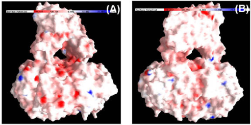 Electrostatic potential of molecular surface of MtαIPMS dimer. The colors blue and red represents negative and positive potential. Panels A and B represent MtαIPMS dimer molecule in two different orientations. The molecular surface was displayed using GRASP.