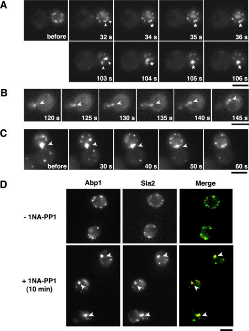 Reversible actin clump formation from cortical actin patches upon inhibition of Prk1p activity. A and C are the selected frames from Video 1 and Video 2, respectively. (A–C) ark1Δ prk1-as1 cells expressing Abp1-GFP were imaged. (A and B) Cells before or after treatment with 1NA-PP1 for the indicated times. (A) The two Abp1 patches (top, arrowheads) or already formed clumps (bottom, arrowheads) fuse to become one entity (asterisks) upon addition of 1NA-PP1. (B) An Abp1 clump (arrowhead) moves from the daughter to the mother cell. (C) Cells were pretreated with 1NA-PP1 for 30 min, followed by washout of the inhibitor. An Abp1 clump at the neck (arrowhead) disappears during the time course. (D) ark1Δ prk1-as1 cells expressing Abp1-CFP (red) and Sla2-YFP (green) were imaged after a 10-min treatment with 1NA-PP1. Mock-treated cells are also shown. The actin clumps are marked with arrowheads. Exposure times for each panel: 1 s for A and C, 66 ms for B, and 300–700 ms for D. Strains: ark1Δ prk1-as1 ABP1-GFP, DDY2600 (A and C) and DDY2601 (B); ark1Δ prk1-as1 ABP1-CFP SLA2-YFP, DDY2603 (D). Bars, 5 μm.