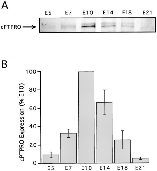 cPTPRO protein is developmentally regulated in embryonic chick brain. 20 μg of brain P2 fractions from E5, E7, E10, E14, E18, and E21 was separated by SDS-PAGE and subjected to Western blot analysis using affinity-purified anti-cPTPRO antibody. (A) cPTPRO migrated with an apparent molecular mass of 180 kD (arrow). Note the increase in expression from E5 to E10 and the decrease after E14. (B) Quantitative analysis from three independent experiments. Data were plotted as a percentage of the levels at E10 ± SEM.