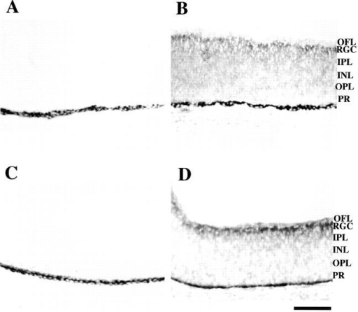 Localization of cPTPRO binding sites and cPTPRO in E7 chick retina. 10-μm sections of chick retina were cut on a cryostat. (A and B) 5 μg/ml of cPTPRO–Fc was allowed to bind to E7 tissue sections (B). 10 μg/ml of mIgG-1 was used as the negative control (A). Staining was most noticeable in the RGC layer, suggesting that this is the predominant location of binding partner(s) for cPTPRO. (C and D) Sections adjacent to those above were used to compare cPTPRO location. The optic fiber layer (OFL) and RGC layer were stained most strongly by anti-cPTPRO antibody (D). The IgG portion of preimmune serum was used as a control (C). Similar results were obtained in multiple experiments. INL, inner nuclear layer; IPL, inner plexiform layer; OPL, outer plexiform layer; PR, photoreceptors. The dark stained layer in all panels is pigment epithelium. Bar, 100 μm.