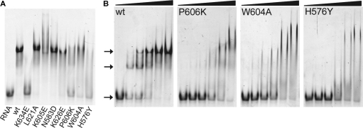 Electrophoretic mobility shift assays of LGP2 RD and mutants with dsRNA. (A) Retardation of 5′-Alexa Fluor 488-labeled dsRNA (25 bp, 60 nM) in a 10% native polyacrylamide gel after incubation with 400 nM wild-type (wt) LGP2 RD or indicated RD mutants, respectively. (B) Retardation of 5′-Alexa Fluor 488-labeled dsRNA (25 bp, 60 nM) in a 10% native polyacrylamide gel after incubation with increasing concentrations (0, 0.4, 0.8, 1.6, 3.2 and 6.4 µM) of wt LGP2 RD and mutants P606→K, W604→A and H576→Y. For the wild-type RD two distinct bands appear shifted compared to free dsRNA at low protein concentrations already. The mutants show unspecific shifting and lower affinity to the RNA, indicated by remaining free dsRNA bands for all protein concentrations.