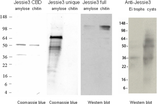 Chitin-binding is associated with the N-terminal Cys-rich domain of Jessie3.Left panel: Coomassie blue stained SDS-PAGE shows an MBP-fusion-protein containing the CBD of Jessie3, which was purified with an amylose resin. A lower mol wt band is likely MBP alone, as only the MBP-Jessie3 CBD fusion-protein binds to chitin (right lane). Left center panel: A Coomassie-stained MBP-fusion-protein containing the C-terminal unique domain of Jessie3, which was purified with the amylose resin (left lane), fails to bind to chitin (right lane). Right center panel: A Western blot with polyclonal rabbit antibodies to Jessie3 shows that an MBP-fusion-protein containing full-length Jessie3 self-aggregates, so that it is difficult to purify on the amylose resin (left lane). However, the MBP-full-length Jessie3 fusion-protein binds to chitin (right lane). Right panel: Polyclonal rabbit anti-Jessie3 antibodies bind weakly to trophozoites of Ei (left lane) but bind strongly to an ∼60-kDa protein in encysting Ei (the expected size of Jessie3) (right lane). Lower molecular weight bands may reflect a cleavage product between the N-terminal CBD and the C-terminal unique domain, as we have previously shown that Jacob lectins of encysting Ei are often cleaved between CBDs [9]. There was no binding of a control non-immune sera to trophozoite or cyst proteins (not shown).
