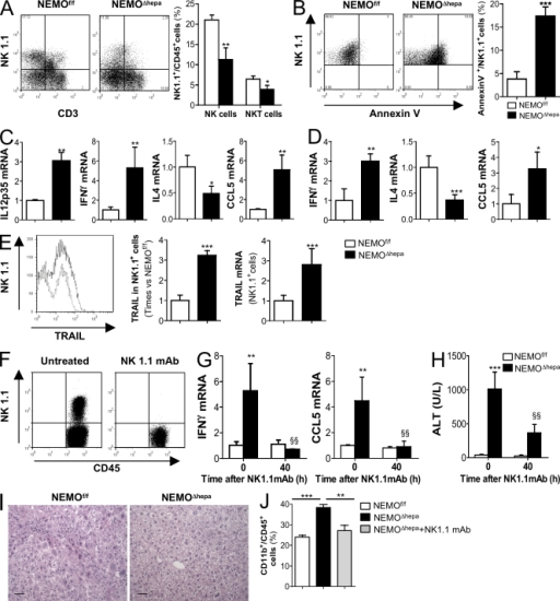 Hepatocyte-specific deletion of NEMO promotes spontaneous activation of liver NK/NKT cells, and administration of NK1.1-depleting mAb attenuates the damaging phenotype in NEMOΔhepa mice. (A) FACS analysis revealed a lower number of NK1.1+CD3− and NK1.1+CD3+ cells in NEMOΔhepa mice. The graph represents the percentage of NK1.1+ cells related to the percentage of CD45+ cells in the liver (B) FACS analysis of NK1.1+/annexin V+ related to % of CD45+ cells revealed strong apoptosis of NK1.1+ cells in livers from NEMOΔhepa mice. (C) RT-PCR showed strong expression of IL-12 (p35), IFN-γ, and CCL5 but lower IL-4 mRNA in livers. Data are presented as times versus NEMOf/f untreated. (D) mRNA analysis of isolated NK1.1+ cells confirmed cell activation and increased cytokine expression. (E) FACS analysis showed stronger TRAIL expression on NK1.1+ cells from livers from NEMOΔhepa mice. mRNA analysis on isolated NK1.1+ cells confirmed this. (F and G) FACS analysis proved effective depletion of NK1.1+ cells (F) 40 h after NK1.1 mAb administration that reduced IFN-γ and CCL5 mRNA levels (G). (H–J) Serum ALT (H), H&E staining (I), and FACS analysis (J; CD11b+ cells) were used as markers of liver damage and inflammation. Bars, 50 µm. All data are representative of three independent experiments. n = 4. *, P < 0.05; **, P < 0.01; ***, P < 0.001 (NEMOf/f vs. NEMOΔhepa). §§, P < 0.01 (NEMOΔhepa vs. Nk1.1mAb/NEMOΔhepa). Error bars represent SD.