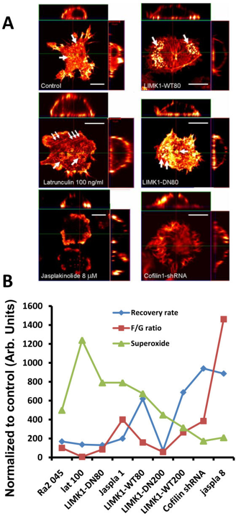 Changes in morphology and relative changes in superoxide production, F/G-actin ratio, and actin recovery half-time following different experimental perturbations of the actin cytoskeleton. A) Ra2 LIMK1-WT80, Ra2 LIMK1-DN80, Ra2 cofilin-shRNA1, and Ra2 wild type cells treated for five minutes with 100 ng/ml latrunculin or 8 μM jasplakinolide were paraformaldehyde fixed and stained with Alexa 568-conjugated phalloidin, and then Z-stacks (20-40 planes, ca. 0.25-0.75 μm section width) were acquired. In the case of 8 μM jasplakinolide treatment z-stacks were generated using β-actin-YFP fluorescence as jasplakinolide inhibits phalloidin binding to F-actin. Laser intensity and gain was adjusted to show detail and therefore does not reflect the levels of polymerized actin between cell lines. The images shown represent a XY-view of the most ventral z-plane of the cell (center) while a XZ projection is shown at the top, and a ZY projection on the side. B) For each parameter (superoxide production, F/G-actin ratio, and actin recovery half-time) absolute values derived from experiments above with PMA-stimulated cells were normalized to that of Ra2 045 control cells and depicted on the Y-axis in arbitrary units.