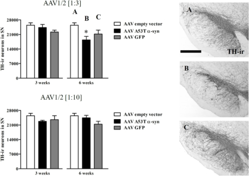 Dopamine neuron loss in the substantia nigra.Stereological counting of TH-ir neurons in the substantia nigra (SN) showed that AAV1/2 A53T α-synuclein (1∶3, 1.7×1012 gp/ml) reduces the number of dopamine neurons 6 weeks following intra-nigral injection, while quantification at 3 weeks or when using the 1∶10 dilution (5.1×1011 gp/ml) at either timepoint, showed no evidence of neuron loss. Panels A, B and C represent significant comparisons found in the AAV1/2 [1∶3] graphs. Scale bar in panel A is 1000 µm. * P<0.05 c.f. empty vector.