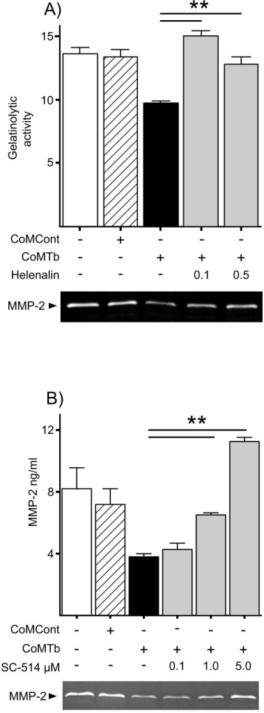 CoMTb suppression of MMP-2 secretion is mediated by the NFκB pathway. (A), Cells were preincubated with helenalin for 2 h and then stimulated with CoMTb. 72 h cell culture supernatants were analyzed by Luminex, confirmed by gelatin zymography (representative zymogram shown). (B), SC-514 inhibition. Bars represent mean values ± SD of three samples, representative of at least duplicate experiments performed in triplicate. Data were analyzed by one-way analysis of variance, followed by Tukey's multiple comparison. **p < 0.01.