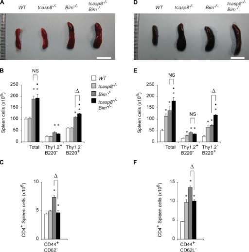 Effect of T cell specific loss of caspase-8 on splenomegaly and lymphocyte hyperplasia in Bim−/− mice. Representative spleens from tcasp8−/−Bim−/−, tcasp8−/−, Bim−/−, and WT young (A) and old (D) mice. Total numbers of Thy1.2+B220− T cells and Thy1.2−B220+ B cells in spleens from tcasp8−/−Bim−/−, tcasp8−/−, Bim−/−, and WT young (B) and old (E) mice. Absolute numbers of effector memory T cells (CD4+CD44+CD62L−) in spleens of tcasp8−/−Bim−/−, tcasp8−/−, Bim−/−, and WT young (C) and old (F) mice. The values represent the mean ± SEM (error bars) of 10 mice for each genotype and age, and were compared by ANOVA testing. Young mice were 6–8 wk of age, and old mice were >6 mo of age. *, P < 0.05 compared with WT mice; •, P < 0.05 compared with tcasp8−/− mice; Δ, P < 0.05 compared with Bim−/− mice. Bars, 1 cm.
