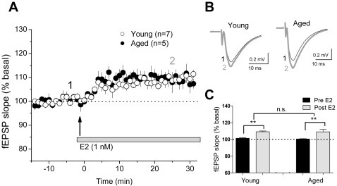 CA1 synapses in the aging hippocampus retain responsiveness to E2 after long-term hormone deprivation.Evoked fEPSPs were measured in acute hippocampal slices from aged (15–18 mo, 6 months after OVX) and young (2 mo, 7–10 days after OVX) females. E2 (1 nM) was bath applied after 15 min stable baseline. Panel A: E2 facilitated fEPSPs in young (open circles) and aged (black circles) females with short latency. Panel B: Representative fEPSPs from young (n = 7 slices from 6 rats) and aged (n = 5 slices from 4 rats) rats before and after E2 application. Panel C: The averaged responses for the last 5 min baseline recording and the averaged responses during 25–30 min after the start of E2 application. Data are means ± SEM. n.s., not significant. **, p<0.01.