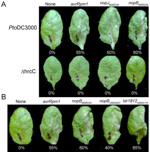 PtoDC3000 delivers T3Es of rhizobia in a T3SS-dependent manner.(A) Leaves of Arabidopsis Col-0 (Rps2/Rps2) were infiltrated with PtoDC3000 (top row) and its T3SS-deficient mutant, ΔhrcC (bottom row) carrying no fusion to Δ79avrRpt2 or fusions to P. syringae T3E avrRpm1 or coding sequences from NGR234 candidate T3E genes, nopJ or nopB. (B) Members of the NopB T3E gene family all encode for functional T3Es. Leaves of Arabidopsis Col-0 (Rps2/Rps2) were infiltrated with PtoDC3000 carrying no fusion to Δ79avrRpt2 or fusions to P. syringae T3E avrRpm1 or nopB coding sequences from NGR234, USDA207, or USDA110. Leaves did not respond to infiltrations of ΔhrcC. In all experiments, leaves were scored for the HR ∼20 hpi and the percent of responding leaves are presented (at least 20 leaves infiltrated). Experiments were repeated at least three times.