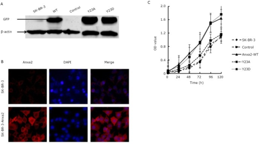 Anxa2-WT and Anxa2-Y23D enhanced the proliferation of SK-BR-3 cells. A: Western blot analysis of GFP in SK-BR-3, control, Anxa2-WT, Anxa2-Y23A and Anxa2-Y23D cells. B: Immunofluorescence study of Anxa2-WT. Anxa2 was evidently overexpressed in SK-BR-3-Anxa2 cells. C: Proliferation ability was markedly enhanced in Anxa2-WT and Anxa2-Y23D cells. Triplicate experiments were done for B and C. The statistical significance was assessed by one-way ANOVA.