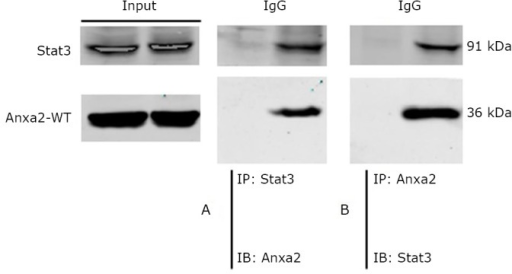 Co-immunoprecipitation of Anxa2 and Stat3 in SK-BR-3 cells. Immunoprecipitation (IP) and immunoblotting (IB). A and B: The SK-BR-3 cell lysate was immunoprecipitated with the indicated antibodies and immunoblotted with the corresponding antibodies.
