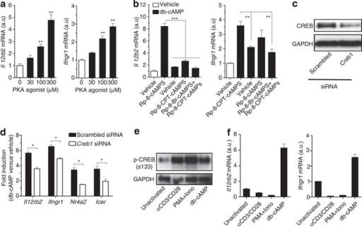 Activation of PKA-CREB pathway is required but insufficient for cAMP-induced IL-12Rβ2 and IFN-γR1 expression.(a) Expression of Il12rb2 and Ifngr1 mRNA in T cells stimulated with indicated concentrations of a PKA agonist, N6-Bnz-cAMP, for 12 h. (b) Expression of Il12rb2 and Ifngr1 mRNA in T cells stimulated with db-cAMP in the presence of PKA inhibitor, Rp-8-Br-cAMPS and/or Rp-8-CPT-cAMPS for 12 h. (c,d) T cells treated with scrambled or Creb1 siRNA for 48 h, followed by immunoblot for CREB (c) or stimulated with db-cAMP for another 12 h for detection of mRNA expression (d). mRNA expression is normalized to vehicle-treated of each siRNA-transfected cells. Icer and Nr4a2 were used as positive controls for CREB-dependent genes. (e) Immunoblot for p-CREB(S133) in IFN-γR1−/− T cells stimulated without (unactivated) or with either αCD3/CD28, PMA (20 ng ml−1) plus ionomycin (500 ng ml−1) (PMA+Iono), or db-cAMP for 30 min. (f) Expression of Il12rb2 and Ifngr1 mRNA in IFN-γR1−/− T cells stimulated as in e in the presence of anti-IL-2 for 12 h. Data shown as mean±s.e.m. are representative of two (a–c,e,f) or four (d) independent experiments with triplicates. Statistical significance was examined by unpaired two-tailed student's t-test, *P<0.05; **P<0.01; ***P<0.001. a.u., arbitrary units.