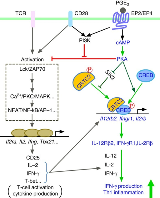 A model for synergistic action of cAMP and PI3K in Th1 differentiation.cAMP generated in response to PGE2 binding to EP2/EP4 activates PKA, which phosphorylates CREB and activates CRTC2 through phosphorylation of SIK. Activated CREB and CRTC2 translocate to the nucleus and induce expression of Il12rb2, Ifngr1 and possibly Il2rb, thus facilitating Th1 differentiation synergistically with IL-12, IFN-γ and IL-2. While cAMP-PKA inhibits T-cell activation by suppressing TCR signalling, coactivation of PI3K by EP2/EP4 and CD28 cancels this inhibition and promotes the Th1-facilitative action of cAMP.