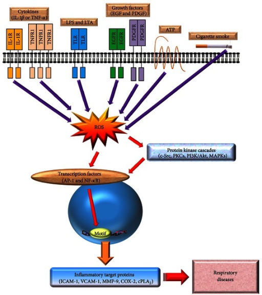 General overview of the inflammatory signaling pathways in respiratory diseases. Many of the known inflammatory target proteins, such as MMP-9, ICAM-1, VCAM-1, COX-2, and cPLA2, are associated with inflammatory signaling pathways induced by various stimuli, including TNF-α, IL-1β, ATP, cigarette smoke, LTA, or LPS. Moreover, the SFKs, PKCs, growth factor tyrosine kinase receptors, NADPH oxidase/ROS, PI3K/Akt, and MAPKs are components of signaling cascades that respond to extracellular stimuli by targeting transcription factors, such as NF-κB and AP-1, resulting in the modulation of inflammatory gene expression associated with pulmonary diseases.