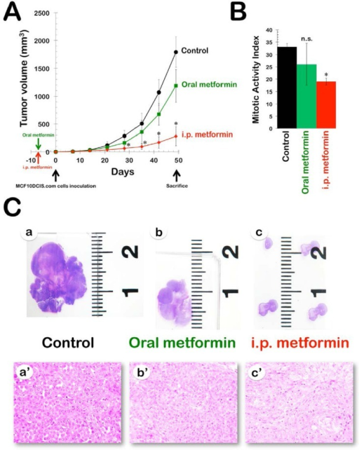 Efficacy of oral and i.pmetformin in the DR-resistant MCF10DCIS.com xenograft model. A. Shown are the mean tumor volumes (±SD) of MCF10DCIS.com xenograft-bearing nude mice following oral (ad libitum access to water containing 250 mg kg−1 metformin) and i.p. (daily i.p. injections of 200 mg kg−1 metformin) administration of metformin for 8 weeks. Tumor growth rates were significantly different between the control and the i.p. metformin groups (* Student's t-test P<0.01). B. The bar graph (mean ± SD) shows the quantification of the mitotic activity in the xenografts. The number of mitosis per high power field was quantified by light microscopy in at least ten high power fields per tumor in all xenografts (n=2 per group, three groups; * Student's t-test P<0.01 versus control group). C. Metformin-treated MCF10DCIS.com xenotumors have reduced tumor growth and altered histological features. a-c. Sections from xenografts were stained with H&E and taken at low magnification. a'-c'. Histopathological comparison among MCF10DCIS.com xenografts (evaluation was performed under 400X objective magnification)