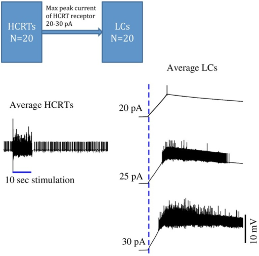 Time series of in silico conductance-based models of Hcrt and LC neurons. During sleep, both Hcrt and LC neurons are relatively quiescent. Once Hcrt neurons have integrated all of their inputs, including metabolic, circadian, and limbic states, they initiate a train of spikes (here mimicked by a virtual stimulation) that release glutamate and eventually Hcrt on post-synaptic neurons. This model is made of 40 neurons using the same conductance-based model published in (Carter et al., 2012). Excitability of Hcrt and LC neurons in this model was modified by using the Vt value -52 mV and is regulated by randomly selecting the Vt values centered at -52.0 mV using a Gaussian process with standard deviation of 1 mV. HCRT neurons are stimulated during 10 s with a 5 pA current as indicated by a blue straight line on the left hand side. Glutamate release elicits a slow depolarization on LC neurons, and cumulative release of Hcrt reaches a threshold that results in a train of spikes of LC neurons. Three maximal currents elicited by HCRT receptors into the LCs are used: 20, 25, and 30 pA. The delayed excitability of LC neurons is very sensitive by only modifying the peak current by 10%. The dotted blue line indicates when the HCRTs start to be stimulated. This model is a simplification because it ignores the effect of regulatory inhibitory neurons widely present in hypothalamic circuits. Further work should show the stabilization of the LCs by using GABAergic circuits.Carter et al. (2010) demonstrated that subtle stimulation of LC neurons, reaching 20 pulses in 5 s, deterministically results in an awakening.