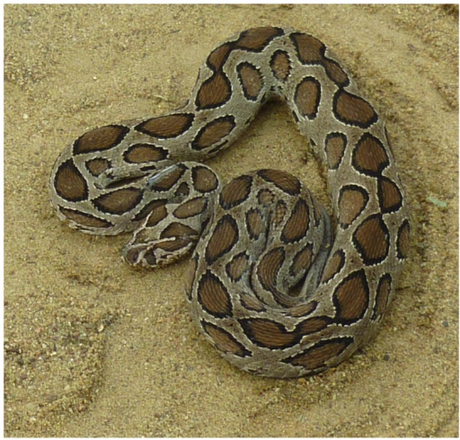 Russell's viper (Daboia russelii) adult specimen from Sri Lanka.Russell's vipers are distributed throughout Sri Lanka except at higher elevations (>1500 m) and are abundant in agricultural lands in the rural areas of the island's dry zone.