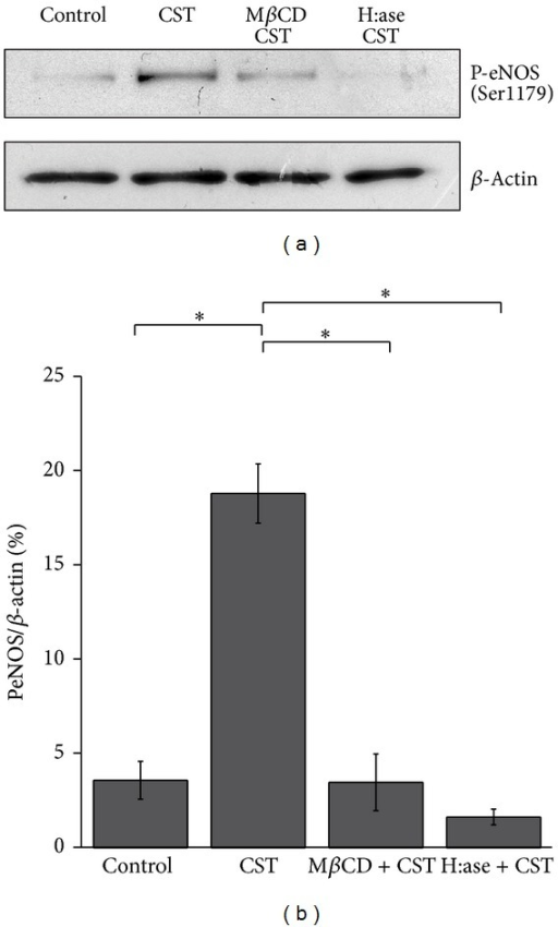Both proteoglycans and caveolae are required to allow CST-dependent eNOS phosphorylation. (a) Typical Western blot experiment showing that CST-induced PSer1179eNOS was reduced by both MβCD (5 mM, 30 min) and H:ase (2 U/mL). (b) PSer1179eNOS/β-actin ratio of densitometric values from Western blots (%PSer1179eNOS/β-actin: control = 3.59 ± 1; CST = 18.81 ± 1.57; MβCD + CST = 3.48 ± 1.5, H:ase + CST = 1.63 ± 0.41; n = 3; P < 0.05).