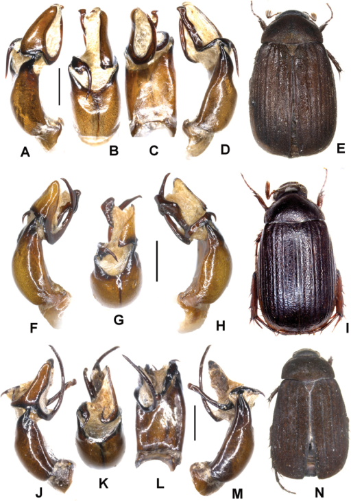 A–ENeoserica tonkinea sp. n. (holotype), F–INeoserica taunggyiana sp. n. (holotype) J–NNeoserica euyunnanica sp. n. (holotype) A, F, J Aedeagus, left side lateral view D, H, M Aedeagus, right side lateral view B, G, K parameres, dorsal view C, L aedeagus, ventral view E, I, N Habitus. Scale: 1 mm. Habitus not to scale.