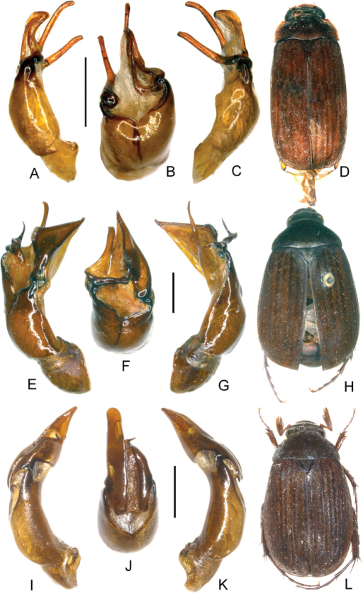A–DNeoserica yingjiangensis sp. n. (holotype) E–HNeoserica thailandensis sp. n. (holotype) I–LNeoserica lamellosa sp. n. (holotype) A, E, I Aedeagus, left side lateral view C, G, K Aedeagus, right side lateral view B, F, J parameres, dorsal view D, H, L Habitus. Scale: 1 mm. Habitus not to scale.