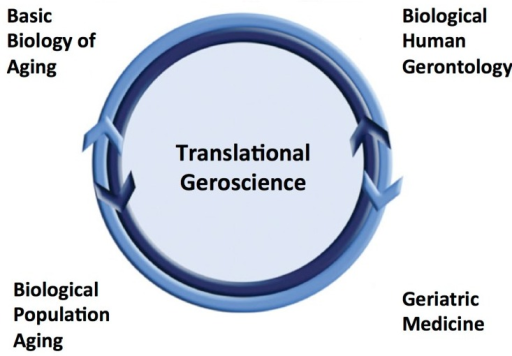 Translational geroscienceTranslational gero-science represents an integrative model for conducting biological-biomedical aging research leveraging a bi-directional, continuum of observations from basic science to populations using multidisciplinary approaches.