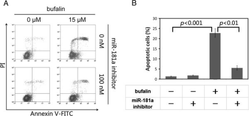 MiR-181a inhibitor attenuatedbufalin-induced apoptosis in PC-3 cell. A. Apoptotic cells were stained by Annexin-V-FITC/PI and assayed by flow cytometer. Bufalin induced significant apoptosis that was effectively attenuated by miR-181a inhibitor. B. Statistical histogram from A was shown. P values were calculated byStudent's t-test, based on three replications.