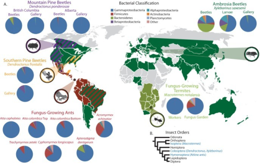 Distribution of insect-fungal symbioses and composition of their bacterial microbiota. (A) Map showing the global distribution of the insects analyzed here (colored regions on the map) and the locations from which samples were obtained in this study (circled). Pie charts show the phylogenetic composition of bacteria identified from 16S amplicon libraries sequenced from each sample, with colors corresponding to bacterial phylogenetic groups (in key). Metagenomes constructed from both the top and bottom strata of fungus gardens are shown for the leaf-cutter ant Atta colombica. Global insect distributions are based on previous estimates (see Materials and Methods). (B) Simplified phylogeny of select insect orders (based on that previously reported [79]). Orders that include insects with insect-fungal symbioses presented in this study are highlighted in blue.